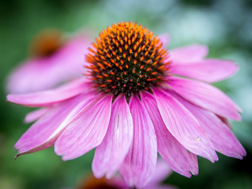 Echinacea, un aiuto dalla natura per le difese del nostro organismo